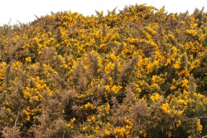 Walk 1.17 passing Gorse bushes on your left