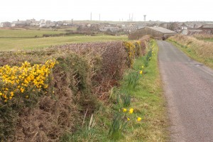 Walk 1.26 Gorse and daffodils line the route in Springtime