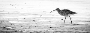 Walk 1.7 Look for wading birds on the sand