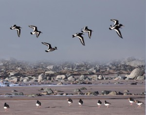 Walk 1.9 Oystercatchers are often seen near the rockpools